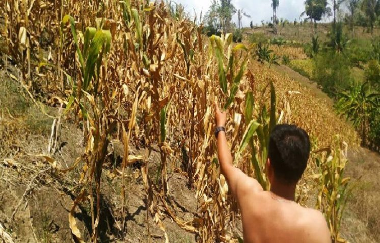 Setahun gempa Sulteng – Petani sejumlah desa di Sigi gagal panen jagung