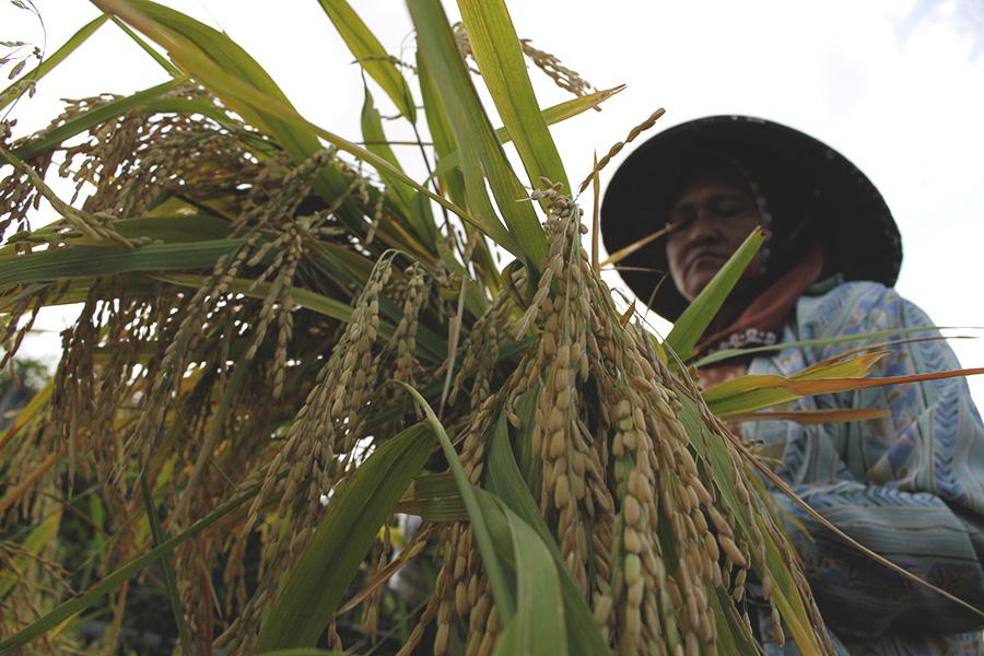 Pertanian Berkelanjutan: Untuk Keamanan Pangan atau Untuk Ketahanan Petani?