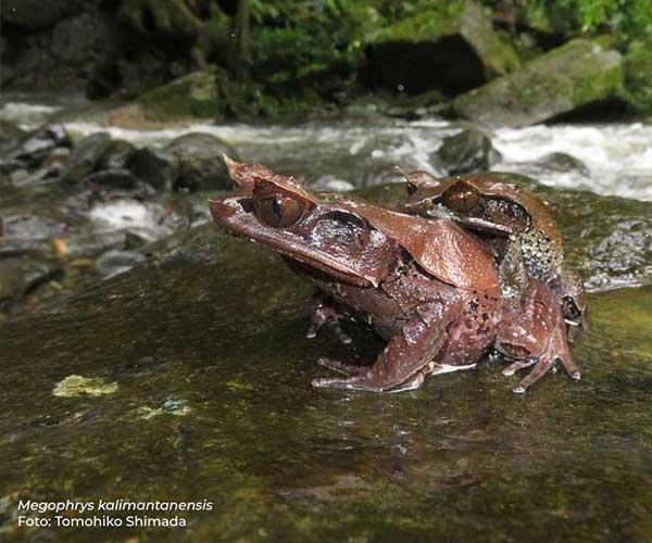 Spesies Baru Katak Tanduk dari Hutan Kalimantan