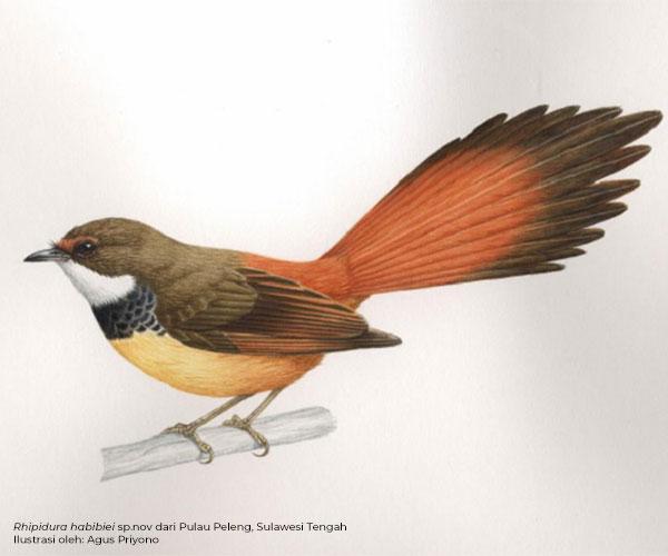 Penemuan Sepuluh Taksa Baru Burung dari Sulawesi dan Maluku Utara